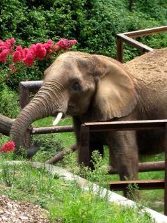 Baltimore Zoos Elephant Program