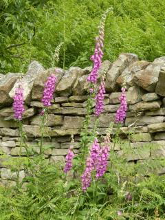 Foxgloves along the road to Talkin Head and Long Byres