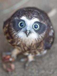Bird life is baundant here. Owl, Kangaroo Island, SA. Tourism Australia