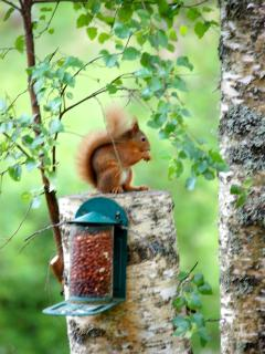 Red Squirrel in the garden at Isla View