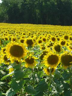 local sunflowers