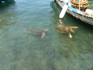 Turtles in Fethiye Harbour