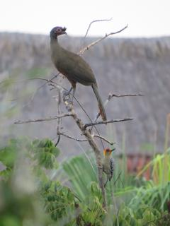 Rufous-bellied Chachalaca and Golden-cheeked Woodpecker (seen from the casa)
