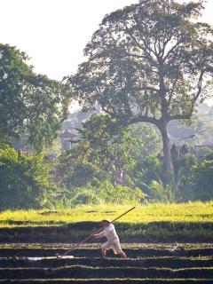 Puri Bawana - Rice field views