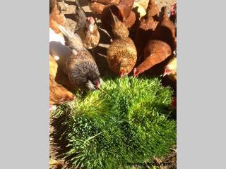 Our chickens enjoying their farm-raised fresh fodder.