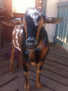 Carl The Criminal. He's the miniature goat herd leader.  Read more about him on our blog!
