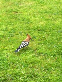 The Hoopoe is a regular visitor to the garden.