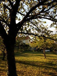Ce cerisier à 'bigarreaux' a dû être planté il y a fort longtemps ...