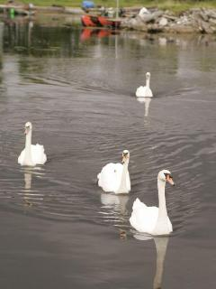 Swans of the river