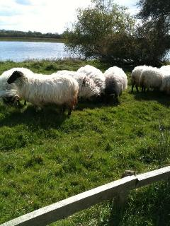 Sheep beside the Shannon