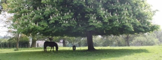 Toast the pony under the horse chestnut tree