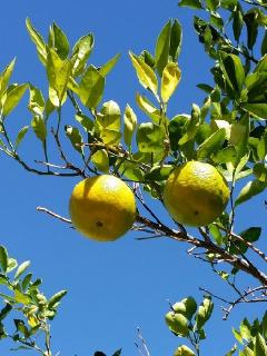 Fresh fruit trees - orange and lemon and lime