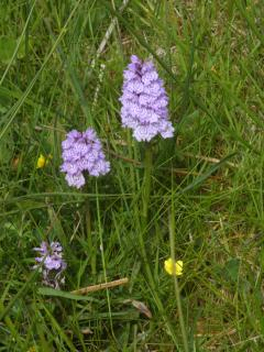 Orchids in bloom on the croft