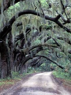 Oak Canopy Road on Cumberland Island. Accessible by Ferry from Fernandina Marina