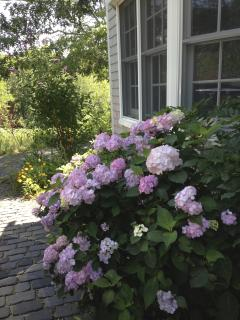 One of the Hydrangea plants lining the driveway