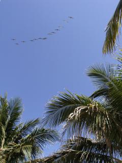 Pelikans. Foto taken in condo garden