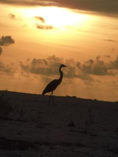 Great Blue Heron at sunset on Englewood Beach