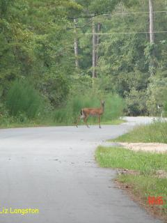 The deer live in the woods and can be seen as they move around the Retreat.