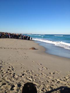 Loggerhead Marinelife Ctr. turtle release