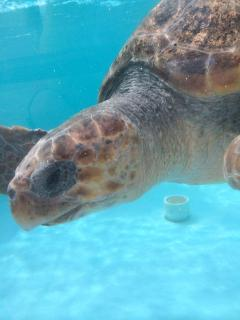 Loggerhead Marinelife Ctr.  Captain Jack