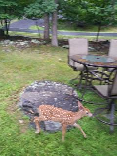 baby deer walking in front yard..Friendly with guests too!