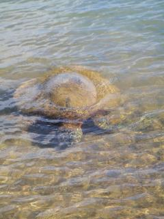 Turtle 4 feet from the Beach