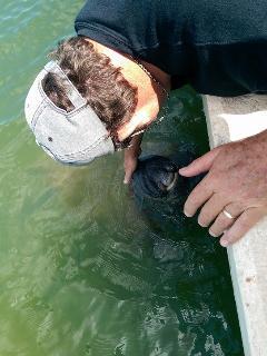 Baby manatee in the cut in boat slip