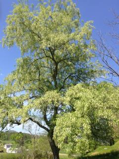 Black cherry tree on property - beautiful in spring, lovely shade in summer