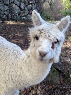 Alpacas are very curious animals but please do not feed them!