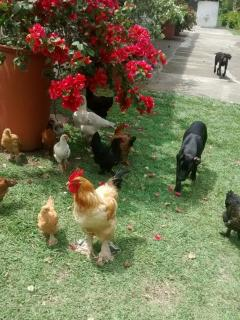 Our chickens and dogs