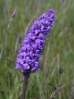 Wild flowers in garden and close by: Northern Marsh Orchid