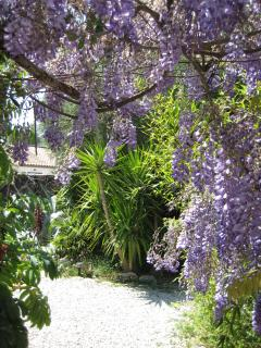 Wisteria in flower in May