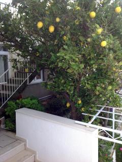 Lemon tree..