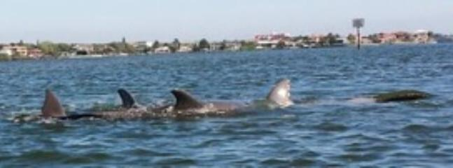 Picture of dolphins taken from kayak near condo.