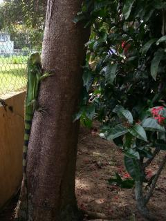 Backyard Iguana