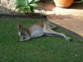 One of the many wallabies that enjoy our garden.