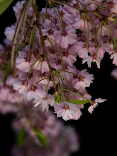 The cherry blossoms in our garden in its colourful splendour