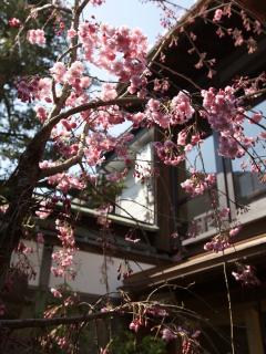 Cherry blossom season at Matsu Sho An from late March to early April every year!
