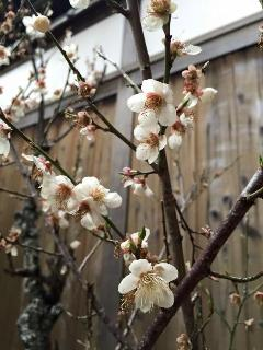 Plum Blossoms in our Spring Garden. They start to bloom from February to March!