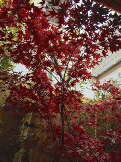 Maple tree in the Autumn Garden. Autumn is one of the most romantic times to visit Matsu Sho An!