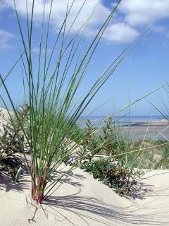 les oyats,  plantes dunaires stabilisent les dunes
