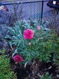 A Peony Tree blooms bright amid Alliums in bud and soon to bloom a beautiful purple.