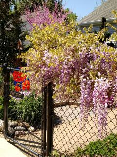 Wisteria and native Redbud.  Sure signs of Spring.  Perennial gardens certified Bay Friendly.