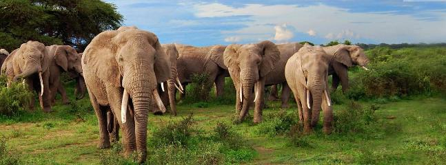 Elephants grazing in the maasai mara game reserve just a few metres from the camp
