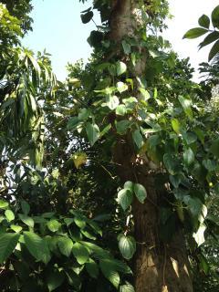 Beetle tree
