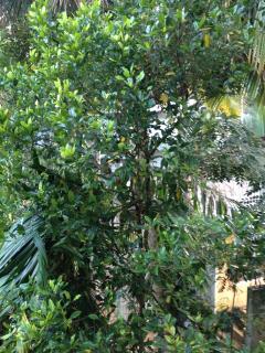 Cloves tree