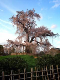 Sakura/ Cherry Blossom Tree in Maruyama Park