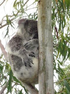 visiting koala in garden