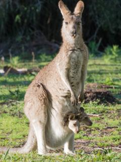 Kangaroo Mum with twin Joeys