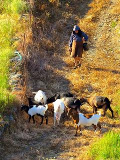 Dona Maria walking the Goats